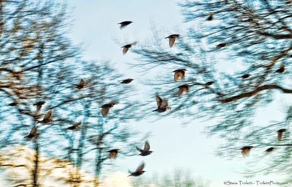 Flock of Common Starlings in flight