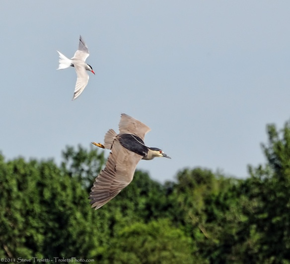 Common Tern Chasing Black-crowned Night Heron
