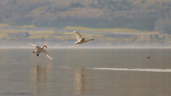 Swans - Lake Neuchatel, Switzerland