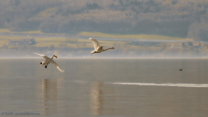 Swans - Lake Neuchatel, Switzerland