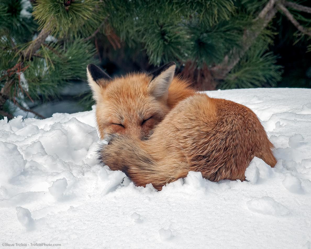 Sleeping Female Red Fox