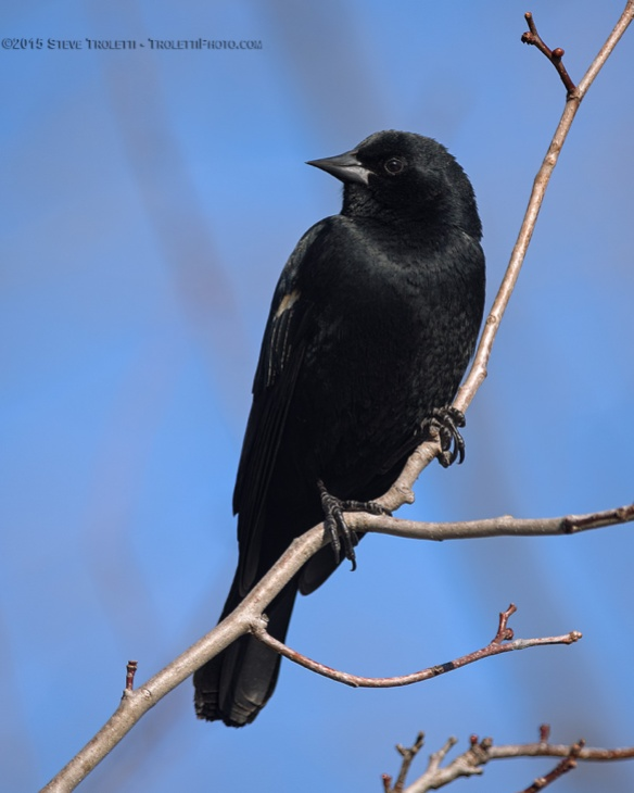 Red-winged blackbird - First migrant