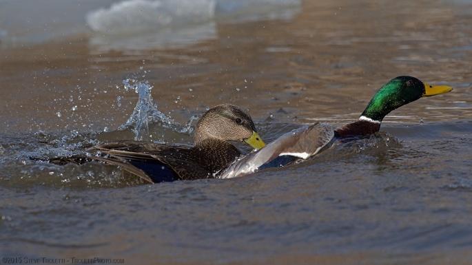 Black duck fending off Mallard Duck