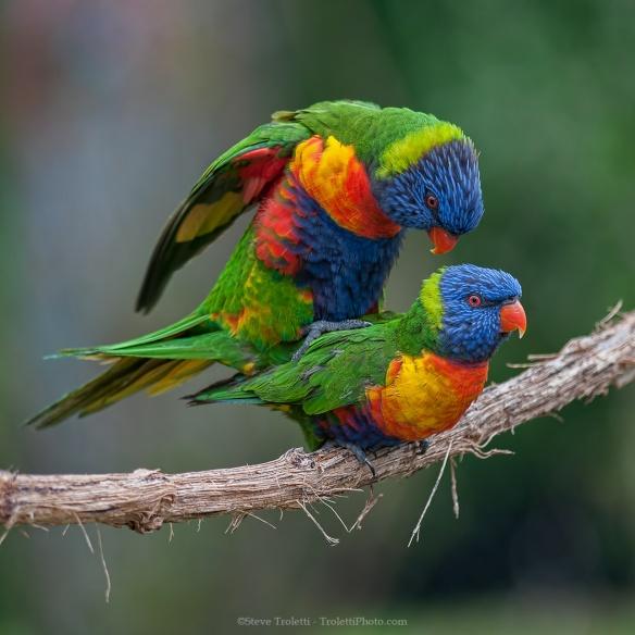 Mating Lori parakeets