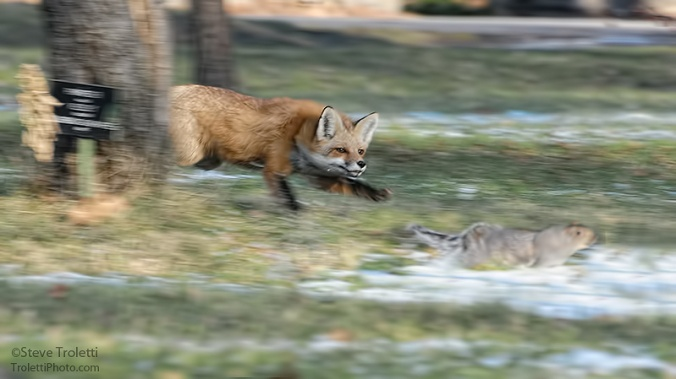 Red Fox Chasing Squirrel by Steve Troletti