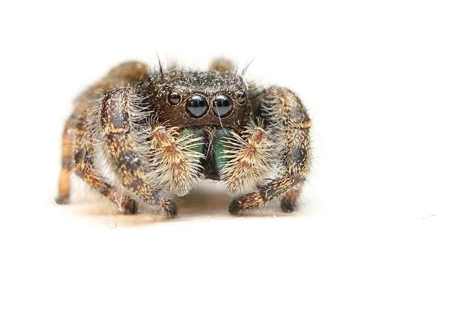 spider_sm