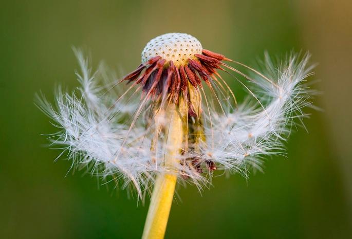 dandelion_closeup
